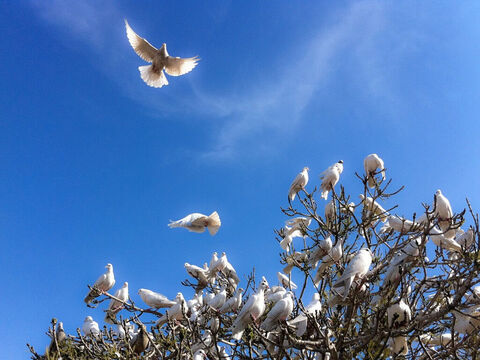 Doves in Jerusalem. <br/>In the Bible a dove brought good news to Noah (Genesis 8:8,10) and was an emblem of purity (Psalm 68:13). <br/>It is a symbol of the Holy Spirit (Genesis 1:2, Matt. 3:16, Mark 1:10, Luke 3:22, John 1:32); also of tender and devoted affection (Song of Songs 1:15, 2:14). <br/>David in his distress wished that he had the wings of a dove, that he might fly away and be at rest (Psalm 55:6-8). <br/>Photo credit: Russavia. – Slide 1