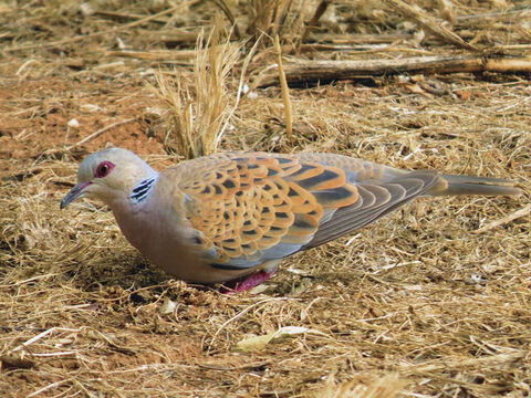 Turtle Dove In  Hayarkon Park, Tel Aviv. A turtle-dove was one of a only a few birds that could be offered in sacrifice, as they were clean, according to the Mosaic law (Gen. 15:9, Leviticus 5:7, 12:6; Luke 2:24). <br/>Photo credit: Alon Rozgovits. – Slide 2