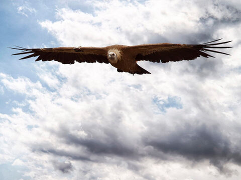 Eagle (Griffon vulture) in Gamla Reserve. <br/>Known to for its swiftness of flight (Deuteronomy 28:49, 2 Samuel 1:23), its mounting high in the air (Job 39:27), its strength (Psalm 103:5), its setting its nest in high places (Jeremiah 49:16), and its power of vision (Job 39:27-30). <br/>Photo credit: Elad Saporta. – Slide 3