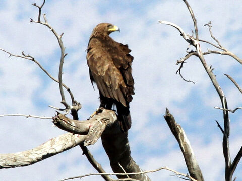 Greater Spotted Eagle in Israel. <br/>God's care over his people is likened to an eagle training its young to fly (Exodus 19:4, Deuteronomy 32:11-12).  <br/>Photo credit: Greg Schechter. – Slide 5