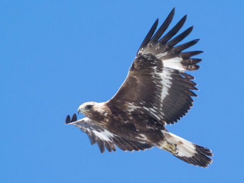 Golden Eagle. <br/>The eagle sheds his feathers in the beginning of spring, and with fresh plumage assumes the appearance of youth (Psalm 103:5, Isaiah 40:31). <br/>Photo credit: 0x010C. – Slide 6