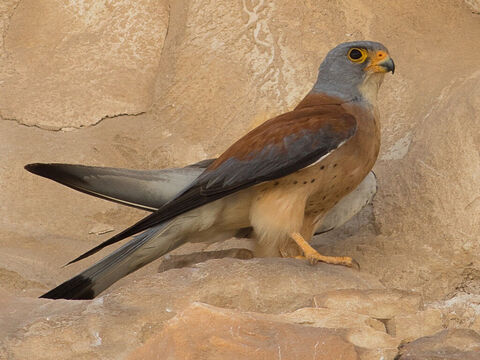 Hawk - lesser kestrel, Israel. <br/>The Hebrew word hawk includes various species of falcon and kestrel (Leviticus 11:16, Deuteronomy 14:15). <br/>Photo credit: מינוזיג – MinoZig. – Slide 9