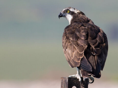 Osprey. <br/>An unclean bird according to the Mosaic law (Lev. 11:13, Deuteronomy 14:12). <br/>Photo credit: מינוזיג – MinoZig. – Slide 11