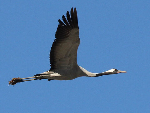 Common Cranes, Israel. <br/>A migratory bird well known in Israel (Isaiah 38:14, Jeremiah 8:7). It has a distinguished loud voice, its cry being hoarse and melancholy. <br/>Photo credit: Greg Schechter. – Slide 13