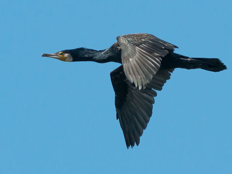 Cormorant. <br/>In Hebrew the Cormorant means 'plunging,' or 'darting down', and is part of the same family group as the pelican. It is listed among the 'unclean' birds; (Leviticus 11:17, Deuteronomy 14:17). <br/>Picture credit: Bengt Nyman. – Slide 14