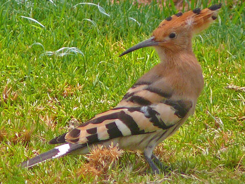 A hoopoe (lapwing) in Israel. <br/>Its cry resembles the word 'hoop'. Listed as an unclean bird in (Leviticus 11:19, Deuteronomy 14:18). <br/>Photo credit: Henrike Mühlichen. – Slide 1