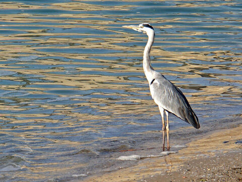 Blue Heron in Israel. <br/>The heron is listed as an unclean bird (Leviticus 11:19, Deuteronomy 14:18). The Hebrew name is 'anaphah' denoting the bird's angry disposition. <br/>Photo credit: Dennis Jarvis. – Slide 2