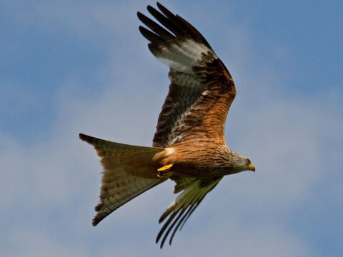 Red kite. <br/>An unclean, soaring, keen-sighted bird of prey that is found all over Israel (Leviticus 11:14, Deuteronomy 14:13). <br/>Photo credit: Tony Hisgett. – Slide 3