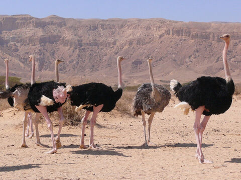 Ostriches in Chay Bar Yotvata, Israel. <br/>A bird known for its greediness and gluttony (Lamentations 4:3). <br/>Photo credit: MathKnight. – Slide 4