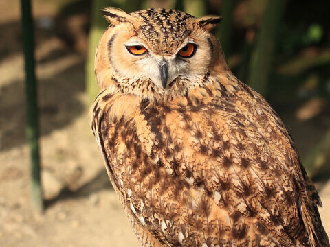 Pharaoh owl. <br/>This is the 'great owl' of Leviticus 11:17, Deuteronomy 14:16). The 'screech owl' or 'night monster' is used to depict the destruction of Edom (Isaiah 34:11) <br/>Photo credit: Tanaka Juuyoh. – Slide 5