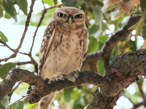 Little owl. <br/>This the 'little owl' of Leviticus 11:17, Deuteronomy 14:16 and the 'owl' in Psalm 102:6. <br/>Photo credit: Artemy Voikhansky. – Slide 6