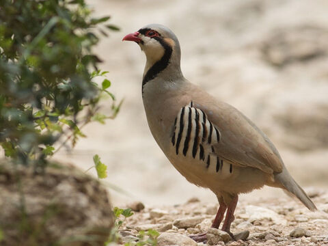 Partridge in Jerusalem. <br/>This bird has a ringing call-note, which in early morning echoes in the barren cliffs of the wilderness of Judea and in the forests of Carmel. It is mentioned in 1 Sam. 26:20 and Jeremiah 17:11. <br/>Photo credit: RonAlmog. – Slide 7