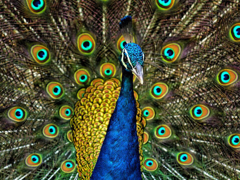 Peacock. <br/>This bird is indigenous to India. It was brought to Solomon by his ships from Tarshish (1 Kings 10:22, 2 Chronicles 9:21) most likely from the Malabar coast of India. <br/>Photo credit: Jatin Sindhu. – Slide 8