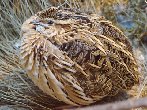 Pharaoh Quail. <br/>These birds are found in countless numbers on the shores of the Mediterranean. The Israelites were provided with a miraculous supply of quails in the Wilderness of Sin (Exodus 16:13) and at Kibroth-hattaavah (Numbers 11:31, Psalm 78:27). <br/>Photo credit: Guérin Nicolas. – Slide 11