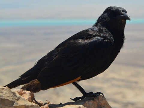 Raven. <br/>In Hebrew its root meaning is 'to be black' (Song of Songs 5:11). A bird sent out by Noah (Genesis 8:7). There are eight species of ravens in Israel and each was forbidden as food (Leviticus 11:15, Deuteronomy 14:14). <br/>Ravens feed mostly on carrion, and hence their food is procured with difficulty (Job 38:41, Psalm 147:9). When they attack kids or lambs or weak animals, it is said that they first pick out the eyes of their victims (Proverbs 30:17). <br/>God commanded the ravens to bring bread and meat to Elijah (1 Kings 17:3-6). <br/>Photo credit: PxHere. – Slide 12