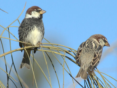 Two male Sparrows in Israel. <br/>Sparrows are mentioned as one of the offerings made by the very poor. They were cheap to buy at little over 3 lepta per bird. Note that the widow's 2 lepta (mites) would not buy a single sparrow (Luke 12:6, Matthew 10:29-31) <br/>Photo credit: נצח פרביאש. – Slide 13