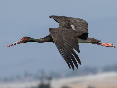 Black stork, Israel. <br/>In Hebrew the name stork means 'kindness' indicating the character of the bird, which is noted for its affection for its young. Photo credit: מינוזיג – MinoZig. – Slide 15