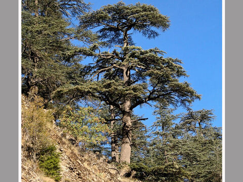 Cedar of Lebanon in the Taurus mountains of southern Turkey.<br/>Cedar of Lebanon (Cedrus libani).<br/>The finest tree known in Biblical times - tallest, majestic and with a wonderful timber that's fragrant and durable. It was used for all the best buildings including temples and palaces, and also in boat building, for top-of -the-range coffins, indeed, anything where one wanted to impress! Not surprisingly the cedar is also a metaphor for important people and is used as such in the Bible.<br/>Cedar is not native to Israel and was imported as is described in the books of Samuel, Kings and Chronicles. The transport of logs from mountain forest to Mediterranean shore, rafting, and then hauling them up to Jerusalem to build Solomon's Temple chimes with what we know about the timber trade in classical times. Indeed, this fine timber was imported this way into Egypt as far back as 2500 BC. The Assyrians used much cedar in Babylon and Nineveh.<br/>Only the very best was used to build Israel's great temple, namely, cedar of Lebanon. – Slide 1
