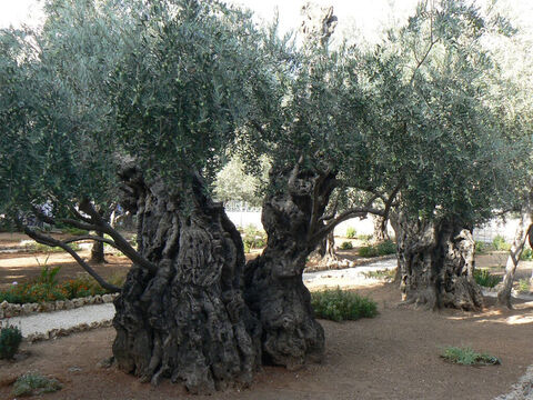 Olives growing in the Garden of Gethsemane still bearing plenty of fruit. <br/> Olives (Olea europea).<br/>Arguably olive is the oldest fruit tree in cultivation yielding food, fuel, lighting, cosmetics and medicines and as indestructible as a tree can be. Some live for up to 2000 years and remain fruitful throughout, quite unlike most other fruit trees. So valued is the olive that clearing or cutting them down is forbidden.<br/>The olive grove in the Garden of Gethsemane is impressive, the trees being about 900 years old, and may come from the very stock of trees among which the Lord Jesus Christ prayed with such earnestness. <br/>Today olives are under great threat from a bacterial disease called Xyllela fastidiosa. – Slide 2