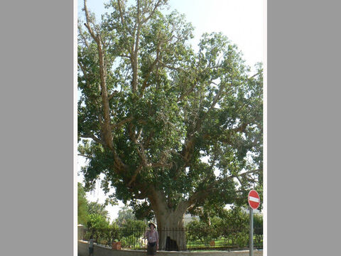 Large sycomore-fig in Jericho. <br/>Sycomore fig (Ficus sycomorus). <br/>A member of the fig genus that grows into a large tree and is common in the subtropics of Africa and occurs in low lying Galilee and the Jordan valley. Not to be confused with sycamore (spelt with an 'a' and is Acer pseudoplatanus) which is a maple. <br/>Sycomore-fig is the tree in Jericho Zaccheus climbed in order to see Jesus (Luke 19:4). Only Luke mentions the incident and how grateful we are for knowing the kind of tree too. This is because in the autumn figs grow on the trunks and thicker branches and shepherds would climb up the trees to scar the fruits and rub in olive oil. This makes them palatable - the poor man's figs - when gathered several weeks later. It is believed that this is what is meant in the Old Testament as 'tending sycomore-fig trees' e.g. Amos 7:14. Zaccheus, the wealthy chief tax collector, would have known this and yet was willing to identify himself with this lowliest and marginalised of occupations just so he could see Jesus. And what a change he and his family experienced as a result of the encounter. – Slide 4