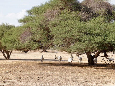 Acacia trees in the Negev (with Arabian oryx) Photo. F Leung. <br/>Acacia trees and woodland. <br/>The tree of semi-desert from which so much of the tabernacle, altar and associated furnishings were fabricated (Exod.25-27). There are three species native to Israel and Jordan and all would have been used for firewood, charcoal and building materials. Acacia woodland (Hebrew shittim) also features in place names and was from where Joshua set out to conquer the promised land (Josh. 3:1). <br/>These references affirm the reliability of the Bible. As the Israelites wandered in the desert and built their place of worship, the kind of timber they were explicitly instructed to use was the very one actually available - and it was good for the job too. – Slide 6