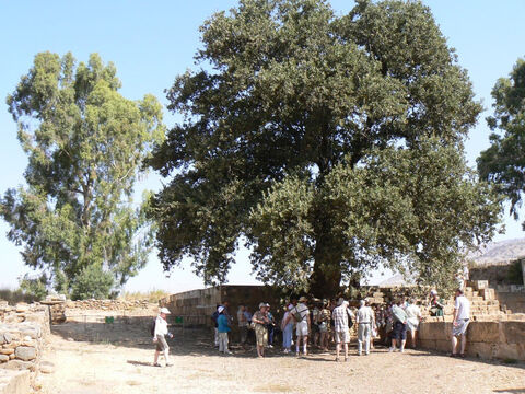 Tabor oak in northern Israel. <br/>Oaks (Quercus spp) and Terebinths (Pistacia spp). <br/>There are three species of oak native to Israel and Jordan, of which two probably feature in the Bible, and two terebinths that are tree-sized. Oaks and terebinths are long-lived trees and are frequently mentioned in the Old Testament to mark a special place or event or boundary and, regrettably, under which the Israelites committed so much idolatry. The refrain 'under every spreading tree' we read about in 2 Kings and in the prophets Isaiah, Jeremiah and Ezekiel. – Slide 9