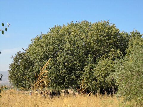 Great spreading Atlantic terebinth in northern Israel. Oaks (Quercus spp) and Terebinths (Pistacia spp). <br/>Oaks and terebinths are linked in other ways, despite the differences botanically, in that their bark is similar as is the Hebrew word for them: elah and alah for terebinth and elon and allon for oaks. Added to this the 'el' or 'al' stem suggests 'god': certainly oaks and terebinths were not only where idolatrous worship occurred but may well have been worshipped or at least venerated. – Slide 10