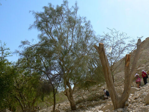 Moringa tree at Ein Gedi, Israel. <br/>Moringa (Moringa peregrina). <br/>Moringa is not named in the Bible, but it occurs in the semi-arid parts of Israel, the Sinai, and Jordan and may help explain the puzzling verse in Exodus 15:25. God instructs Moses to purify undrinkable water by throwing in a piece of wood (or tree). The Bible does not make mistakes or have fairy tales, so how might this miracle have occurred if there is a natural explanation? <br/>The seeds of moringa trees (which are in long pods), when crushed and added to water, release proteins that are natural coagulants. This causes dirty matter to flocculate or precipitate out and sink to the bottom taking harmful bacteria as it does so.  Seeds from just one tree are sufficient to purify about 30,000 litres of water and the process takes only 1-2 hours. <br/>Another possible explanation is a charred log, the carbon of which absorbs the dirty matter and is why carbon is commonly used in water filters. – Slide 1
