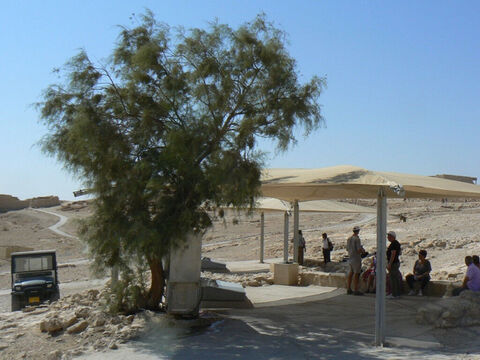 Tamarisk tree shading the drinking fountain on top of Masada, Israel. <br/>Tamarisk (Tamarix aphylla). <br/>Known as the leafless tamarisk because it is the twigs which are green. A small tree of the desert and wadis that is tolerant of saline (salty) soil. It excretes salt through glands in its 'leaves' which, as the moisture evaporates, cools the air, making it a lovely shade tree in the hot desert. Abraham planted one to seal the treaty of Beersheba (Gen. 21:33). <br/>Two other tamarisk species may be implied in the Bible. The Jordan tamarisk which forms dense, impenetrable shrubbery beside the river may be the 'thickets' of Jeremiah 12:5 and Manna tamarisk may be what yielded the manna the children of Israel gathered in the their desert wanderings. – Slide 5