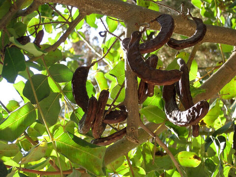 Carob foliage showing the curly pods. <br/>Carob (Ceratonia siliqua). <br/>Small, open woodland tree with edible fruit in the shape of straight or curved pods. Their remarkably uniform seeds (beans) were used for weights with scales and give rise to the root of the wood 'carat' for assaying gold. <br/>Carob pods were probably what the prodigal son fed to the swine, the husks of which he wanted to eat, in Jesus' famous parable (Luke 15:16). Carob may also be the food John the Baptist ate in the wilderness which is often translated as 'locusts' (Matt. 3:4). A common name for carob is 'St John's bread'. – Slide 6
