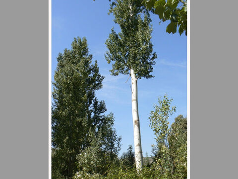 Poplars near the Dan River, in northern Israel. <br/>Poplar (Populus alba and P. euphratica). <br/>There are many species of poplar and two mentioned in the Bible. They are fast growing trees usually found near water and can often be seen beside the River Jordan. <br/>Jacob peeled white poplar branches when breeding sheep (Gen. 30:33) and it was probably Euphrates poplars on which the Israelites hung their harps in exile in Babylon (Ps.137:1-3). David was instructed to muster his army by listening for when the wind rustled the leaves of poplars (2 Sam. 5:23-24). – Slide 8
