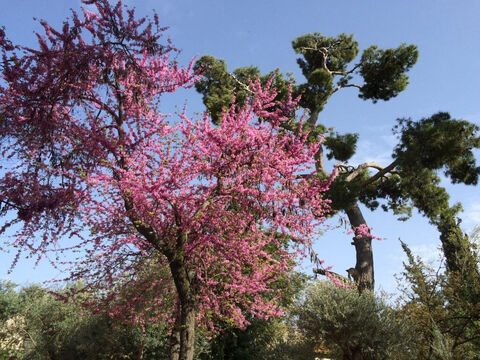 Judas tree in Jerusalem. <br/>Judas trees (Cercis siliquastrum). <br/>This common, small tree in Israel is not mentioned by name in the Bible but has been associated with Judas Iscariot as the tree on which he hanged himself. There is little evidence supporting this, more that its flower buds stay tight for weeks and look like drops of blood. The tree itself flowers profusely in the Spring and, as a result, can be readily identified in the countryside of the Middle East in March and April. The leaves are lovely too, paired, heart-shaped and without a tip and of a delicate lightish green. – Slide 9