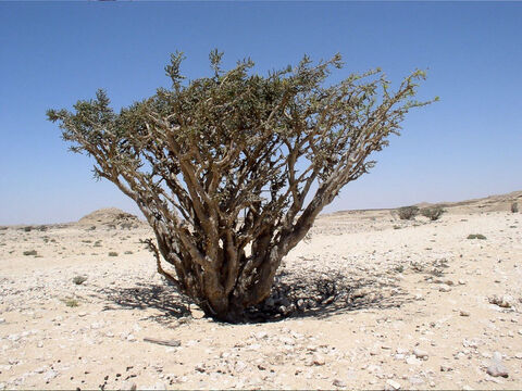 Frankincense tree. <br/>Frankincense (Boswellia sacra) and Myrrh (Commiphora myrrha). <br/>Both trees of the semi-desert and both not-native to Israel and Jordan. There are several species of both and they occur in the Horn of Africa and Arabian Peninsula. – Slide 10