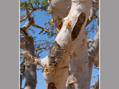 Taping scars in the stem of a Frankincense tree. <br/>Frankincense (Boswellia sacra) and Myrrh (Commiphora myrrha). <br/>Their bark is incised to 'tap' the resin for 'tears of incense'. It is a profitable and very ancient industry, so much so that in 1500 BC Egypt's Queen Hatshepsut's famous expedition to Punt was charged with bringing back the incense trees to plant to help the massive demand for incense in temple worship. Both resins were and are widely traded - think of the ancient trade and spice routes. Both resins are valuable, myrrh especially. There are many biblical references to incense. – Slide 11