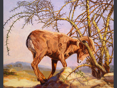 The ram on the mountains of Moriah. <br/>Abraham looked up and there in a thicket he saw a ram caught by its horns. He went over and took the ram and sacrificed it as a burnt offering instead of his son.  <br/>Genesis 22:13 <br/>Full text: Genesis 22:1-14 – Slide 6