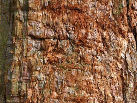 Red bark texture. – Slide 4
