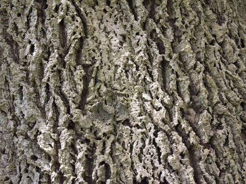 Bark of cork oak (Quercus). – Slide 5