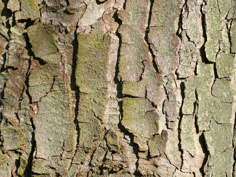 Bark of an old sycamore (Acer campestris) tree. – Slide 6