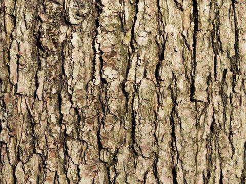 Bark of an oak (Quercus) tree. – Slide 7