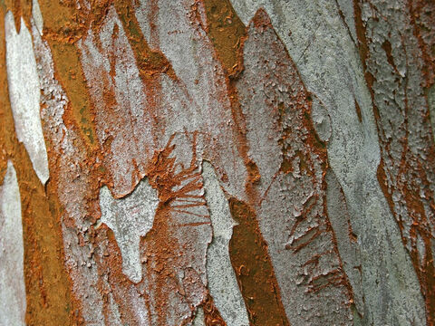 Bark of an exotic tree. – Slide 8