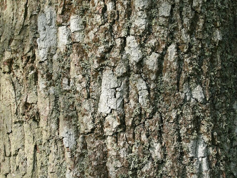 Bark of an ash (Fraxinus) tree. – Slide 9