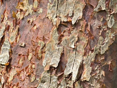 Bark of an exotic tree. – Slide 10