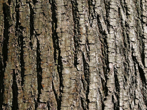 Bark of a sweet chestnut (Castanea) tree. – Slide 11