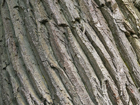 Bark of a sweet chestnut (Castanea sativa). – Slide 12