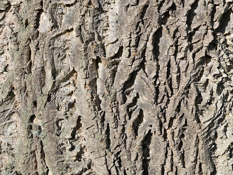 Bark of a Phellodendron tree – Slide 14