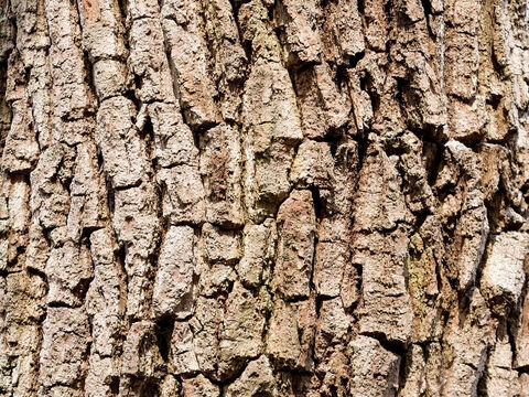 Oak bark texture. – Slide 18