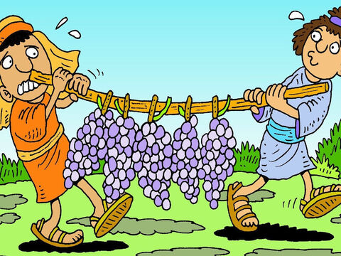 And the grapes on the vines were the biggest they had ever seen! Two men carried bunches of grapes, on a branch, to show Moses. – Slide 4