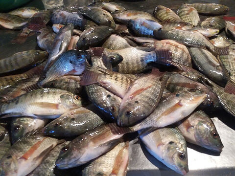 The most famous of this group is the Tilapia Galilea, also know as the St. Peter's Fish. As the water cools for the winter the Musht are the only large fish that move in shoals to the shallow water. – Slide 3