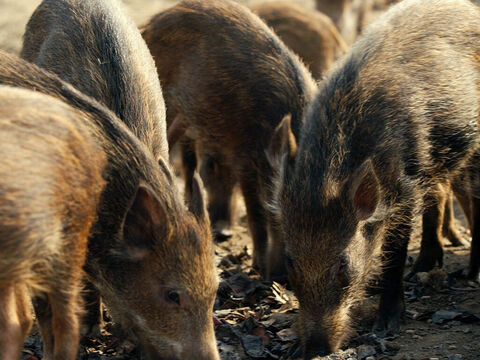 A large herd of pigs was on the nearby hillside. – Slide 9
