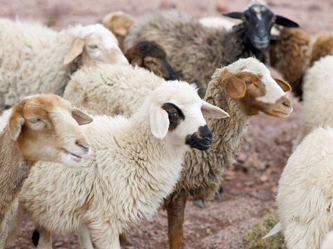 'Suppose one of you has a hundred sheep… – Slide 3